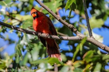 Cardinal_10