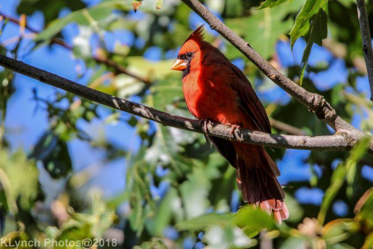 Cardinal_11