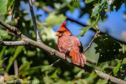 Cardinal_3