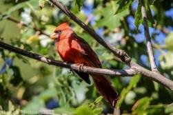 Cardinal_6