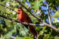 Cardinal_7