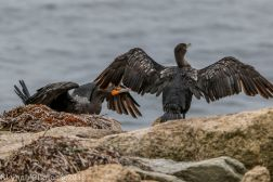 Cormorant_15
