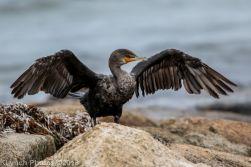 Cormorant_2