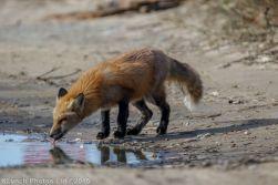 fox_1