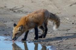 fox_47