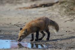 fox_6