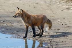 fox_67