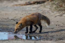 fox_7