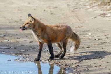 fox_75