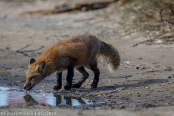 fox_9