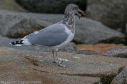 gulls_42