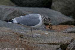 gulls_44