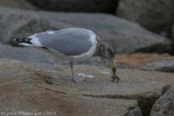 gulls_45