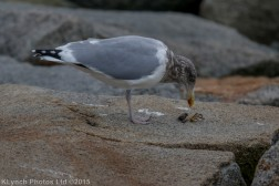 gulls_46