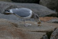 gulls_48