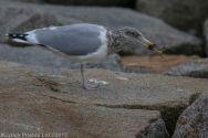 gulls_49