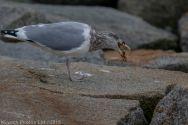 gulls_50