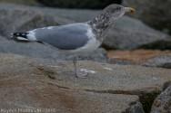 gulls_56