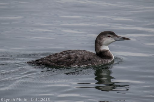 loons_3