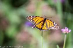 Monarch_13