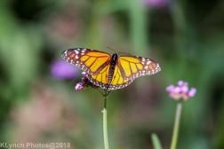 Monarch_15