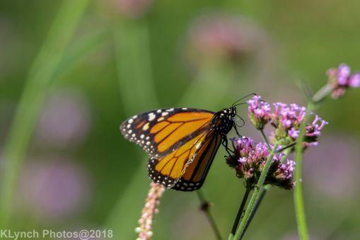 Monarch_19