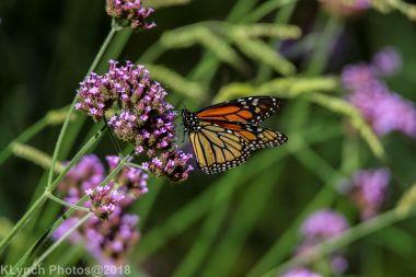 Monarch_21