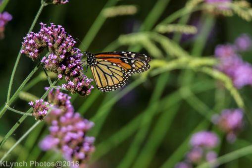 Monarch_22