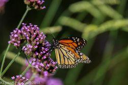Monarch_24