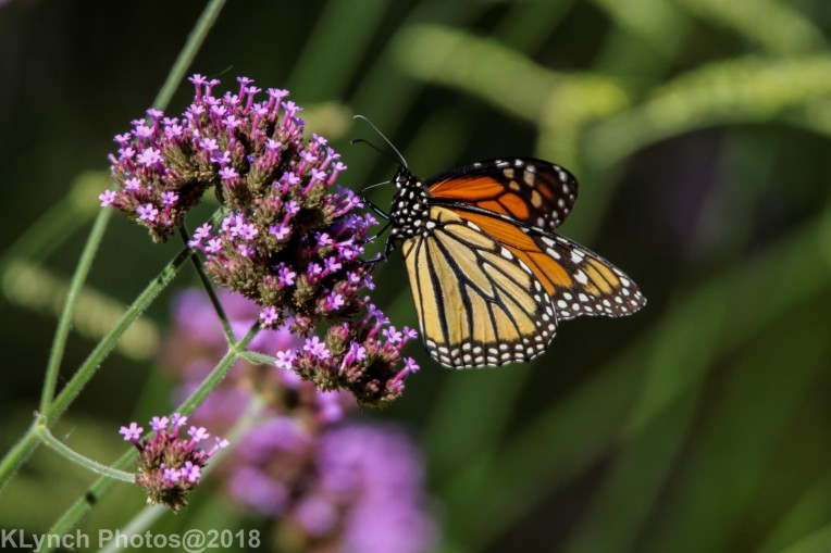Monarch_25