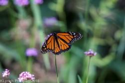 Monarch_6