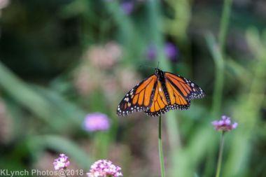 Monarch_9