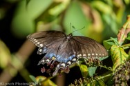 Swallowtail_10