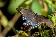 Swallowtail_11