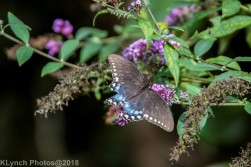 Swallowtail_3