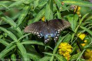 Swallowtail_8