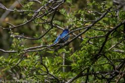 bluebird_12