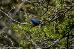 bluebird_5