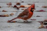 Cardinal_14