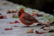 Cardinal_19