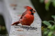 Cardinal_8