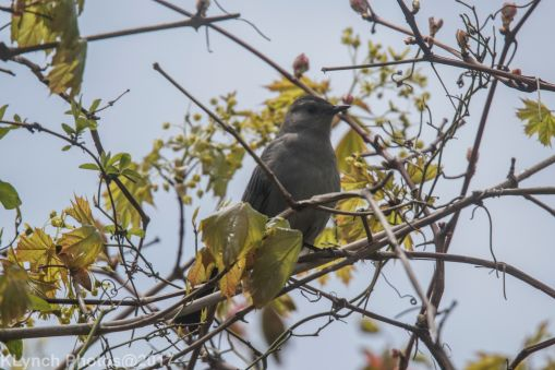 catbird_4