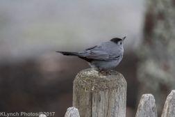 catbird_5