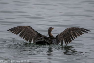 Cormorants_7