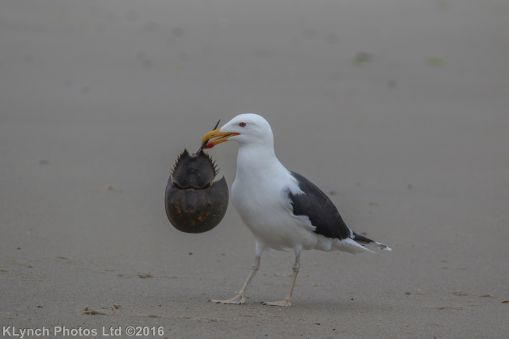 gullsbeach_19