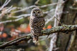 Owl_13