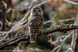 Owl_16