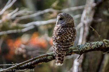Owl_17