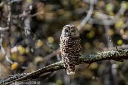 Owl_6