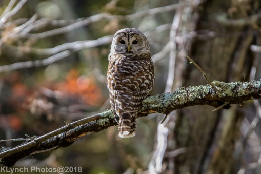 Owl_8